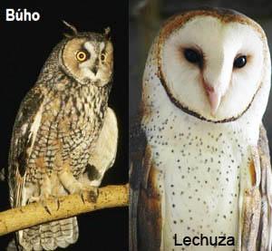 Cuál es la diferencia entre búho y lechuza - tatuajes de búhos