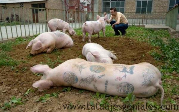 cerdos tatuados 11